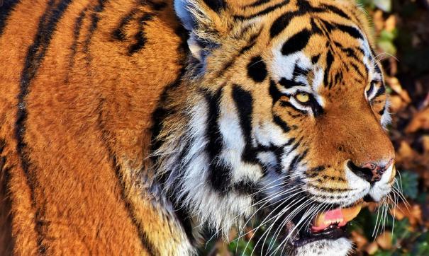 Житель Хабаровского края заколол вилами вышедшего в деревню тигра