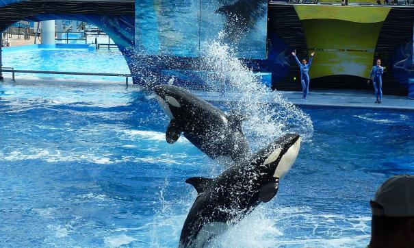 Некоторых косаток и белух «китовой тюрьмы» поместят в океанариумы