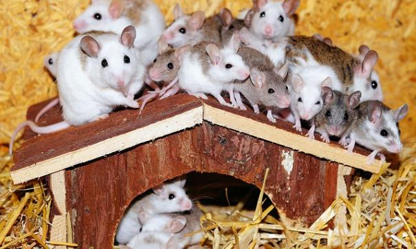 Мыши начали бегать кругами после недели на МКС