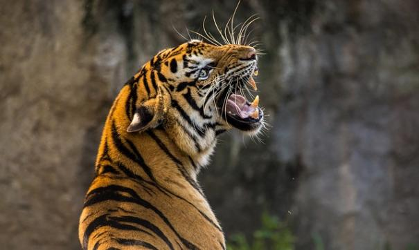 Тигр напал на владельца заповедника, когда тот пытался спасти зверя