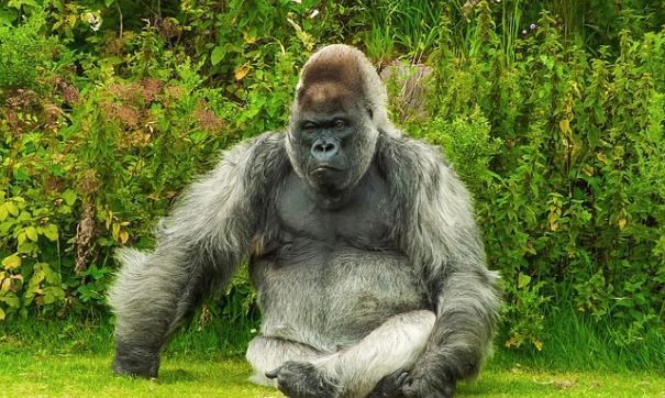 Илон Маск зачитал рэп про гориллу Харамбе, которую застрелили в зоопарке