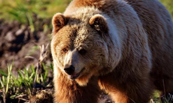 Попытка покормить медведя с руки закончилось плохо для жительницы Приамурья