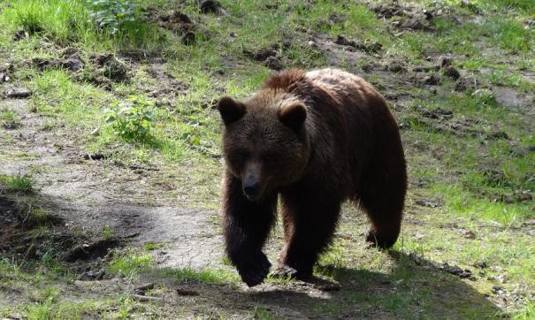 Общественность заступилась за медведя, который поранил женщине руку в Приамурье