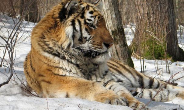 Амурские тигры из Приморья стали голливудскими знаменитостями