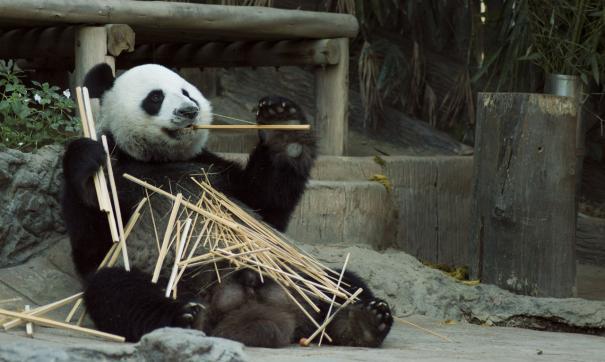 Ученые собираются зарегистрировать панд в базе данных