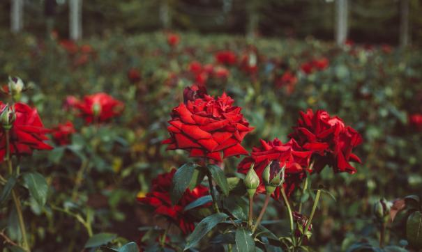Розы займут большую часть нового сквера