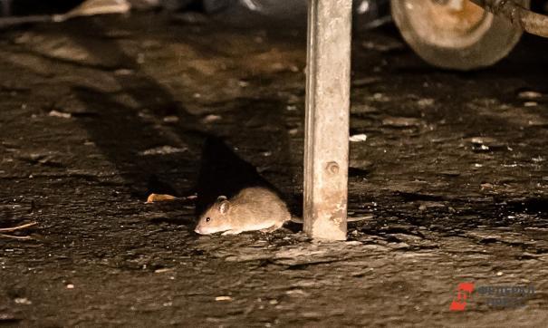 Полицейские подтвердили: восьмилетняя девочка жила в питерской квартире с крысами