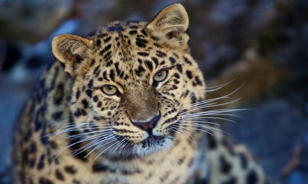 Раненый в Приморье леопард готовится к возвращению в тайгу