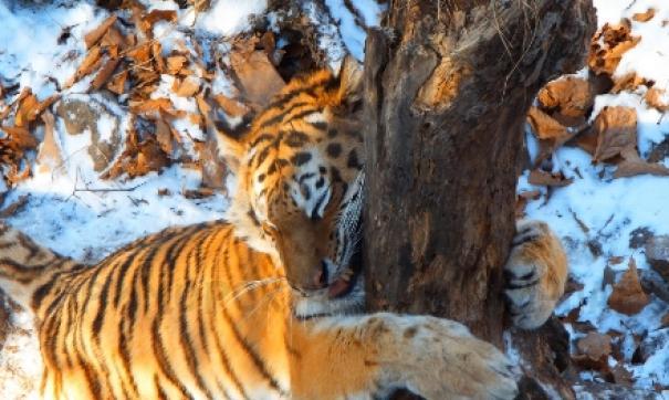 Хабаровчане вернут тигрицу Тайгу в Приморье