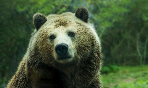 В Приамурье убили медведя, разорявшего кладбище