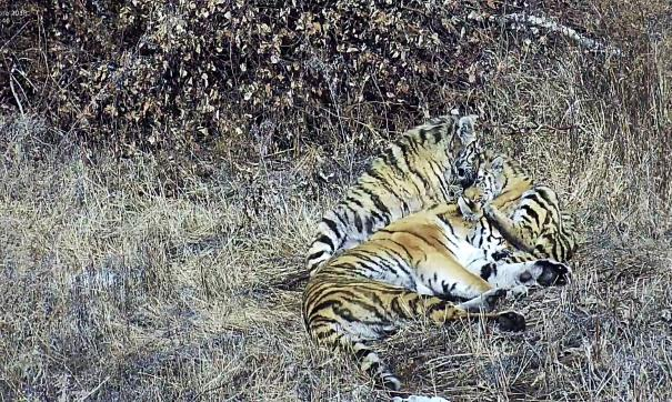 В Приамурье строят временный вольер для двух диких тигров