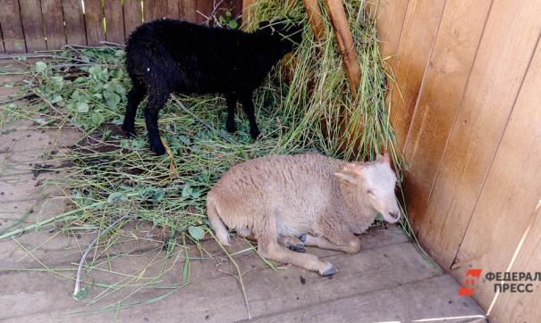 Заказчик не стал забирать стадо у фермера
