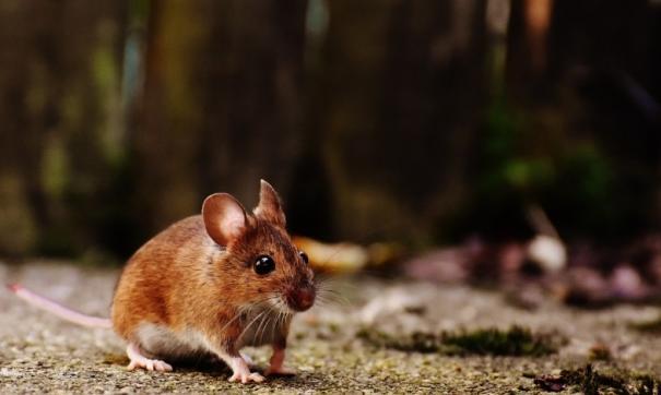 Очагами «Мышиной лихорадки» считаются лесопарк «Кумысная поляна» и Татищевский район