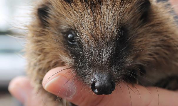 Новый «Ежик» (Hedgehog) напоминает «Ежика в тумане» знаменитого режиссера.
