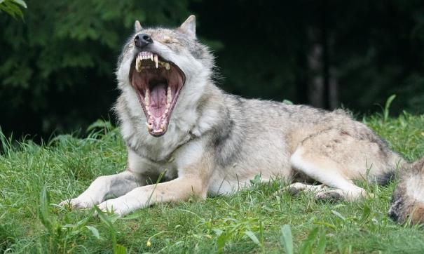 Доисторического «рычащего волка» обнаружили в Якутии