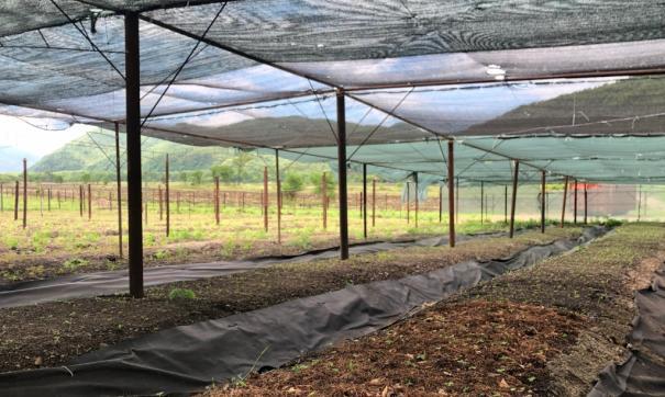 В Приморье восстанавливают технологию выращивания женьшеня