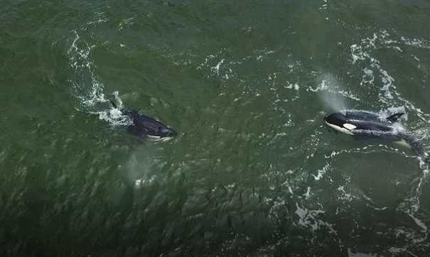 Зоозащитники: косатки и белухи из приморской «китовой тюрьмы» могли умереть после освобождения