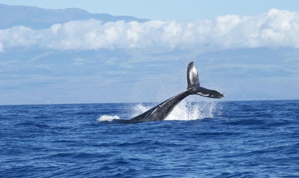 «Единая Россия» участвует в освобождении китов и белух в Приморском крае