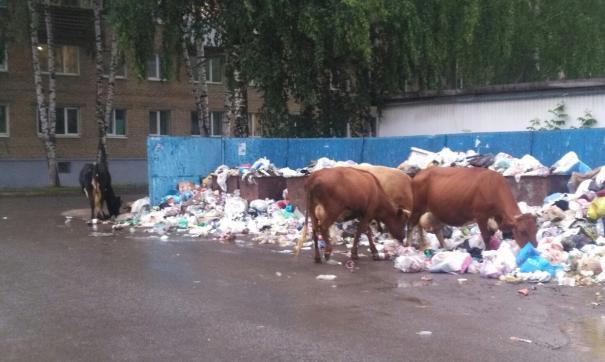 Коровы свободно разгуливают по городу