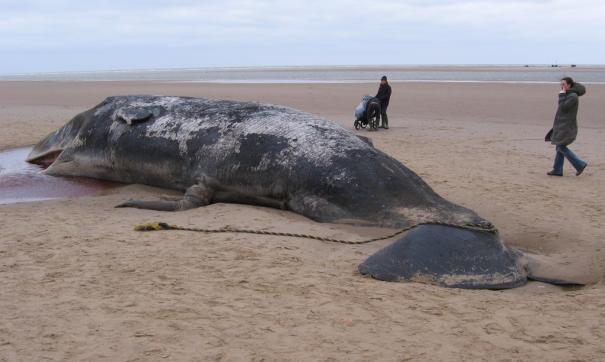 Пилотные киты (pilot whale).