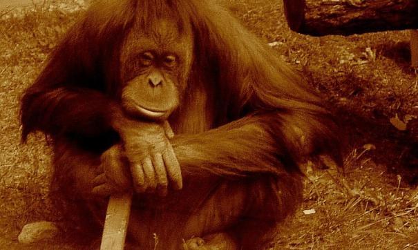 Орангутанов из Индонезии вывозить нельзя
