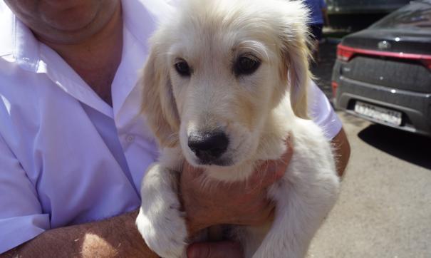 золотистые ретриверы очень добрые, умные, ласковые, игривые, спокойные собаки