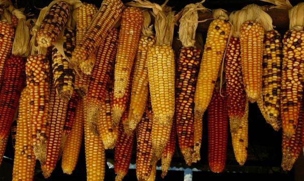 Видео с «той самой» кукурузой оказалось постановочным