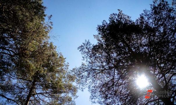 Тюменец против вырубки югорской лиственницы