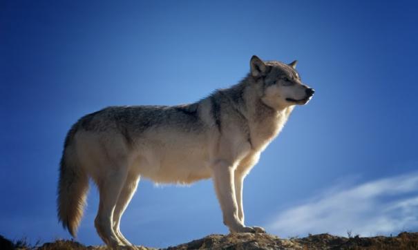 В тобольских лесах начнут отстреливать волков