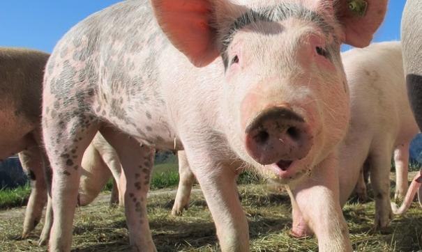 На ферме в Тюменской области ток убил целое поголовье свиней