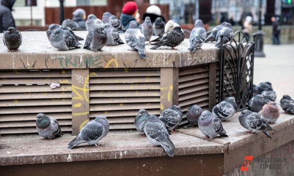 Москвичей призвали прекратить кормить голубей из-за них численности