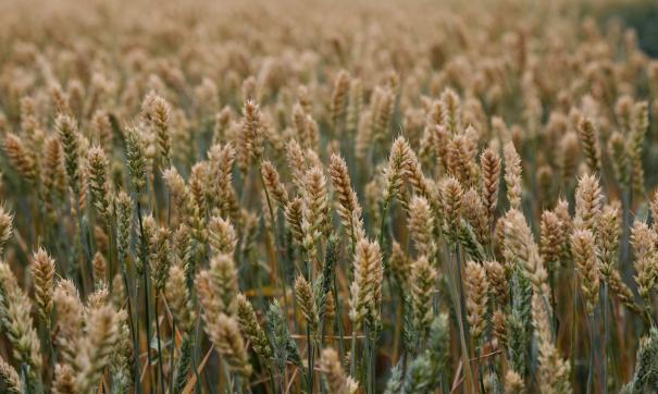 Экспорт пшеницы из России начал расти