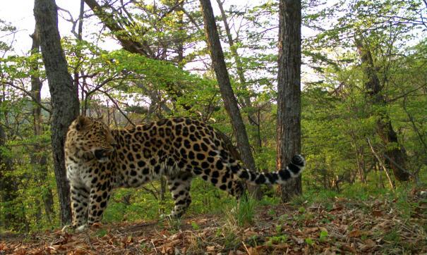 Николай Дроздов дал имя дальневосточному леопарду