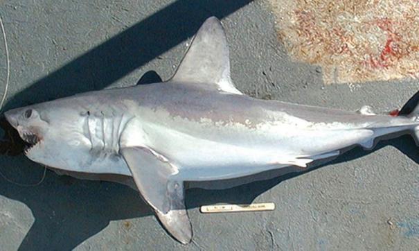 В Хабаровском крае началось нашествие акул