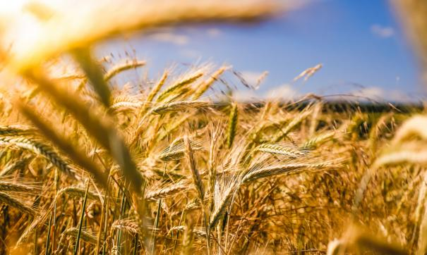 По словам Алексея Кобылина, в некоторых районах урожайность зерна даже выше прошлогодней