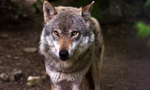 В Крыму пострадали три человека от нападения волков