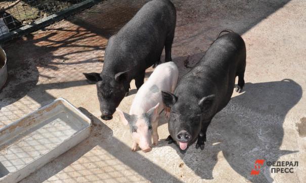 Россия запретила ввоз свиней из Южной Кореи из-за АЧС