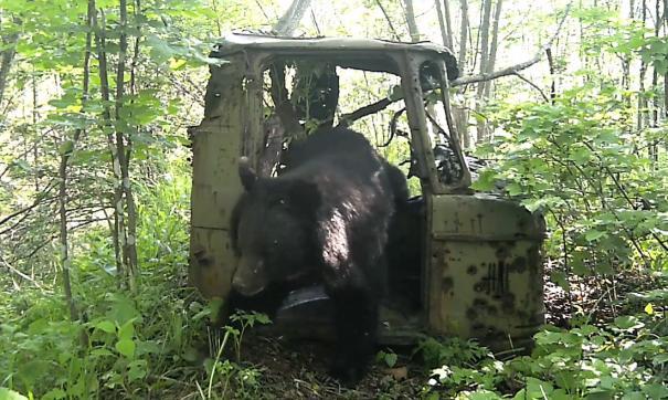 Приморский медведь попробовал себя в роли дальнобойщика