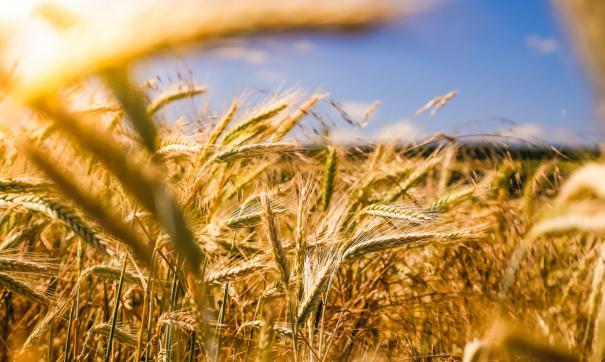 На полях Новосибирской области обмолочено 604 тыс га зерновых культур