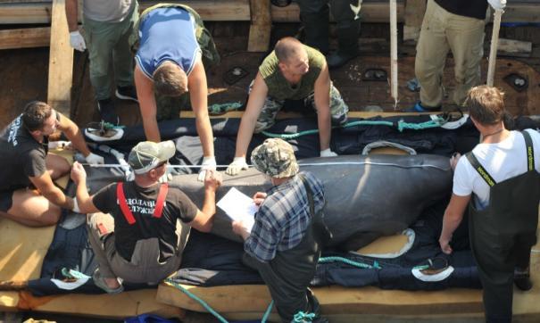 Зоозащитников не пустят на финальный выпуск белух из «китовой тюрьмы»