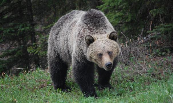 В Забайкалье медведь загрыз местную жительницу