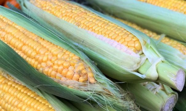 Урожай кукурузы в Приморском крае собирают в 2,5 раза быстрее обычного