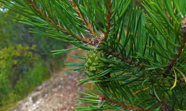 Сосна растет в Верх-Озернинском борке