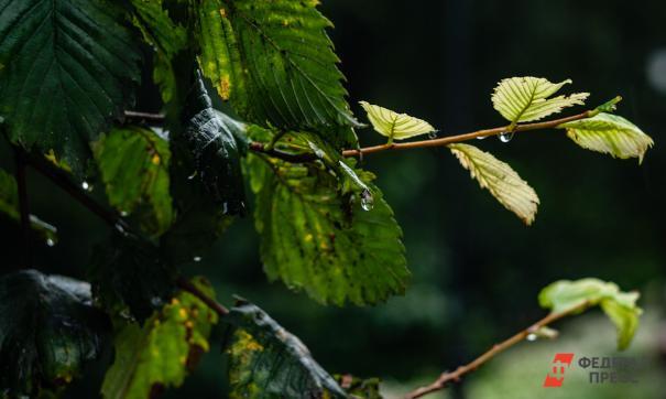 Эти деревья, якобы могут улавливать углерод прямо из атмосферы без всасывания воздуха