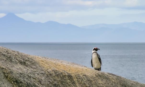Пингвины времен олигоцена достигали 160 сантиметров в высоту