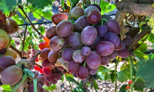 Виноградный сок – отличная профилактика рака и артрита