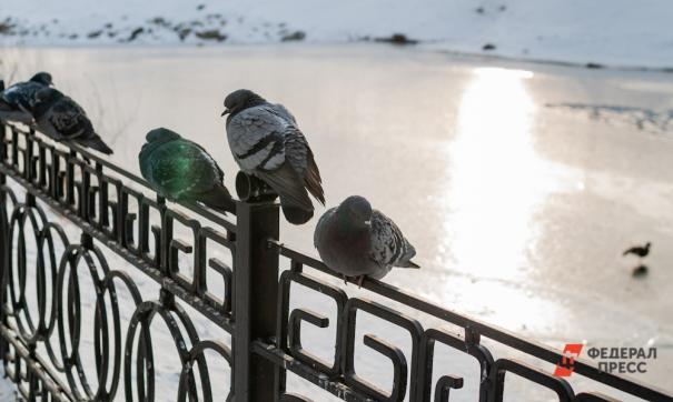 Жители Ноябрьска поддержали запрет на кормление голубей
