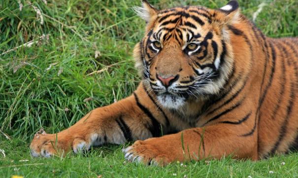 В Хабаровском крае ходят слухио кровожадных тиграх в местном поселке