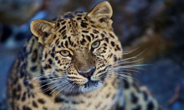 Приморские ученые помогут корейцам восстановить популяцию дальневосточных леопардов