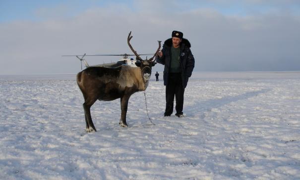 Финны закупят оленьи шкуры на Ямале